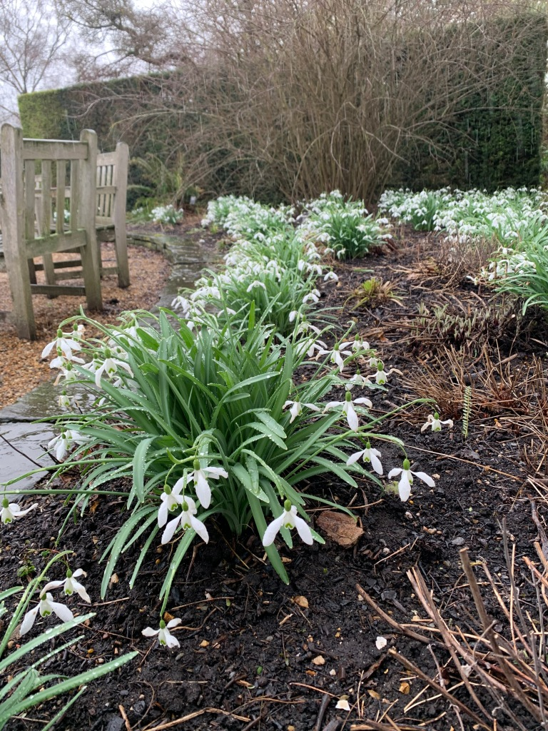 Snowdrops with open flowers