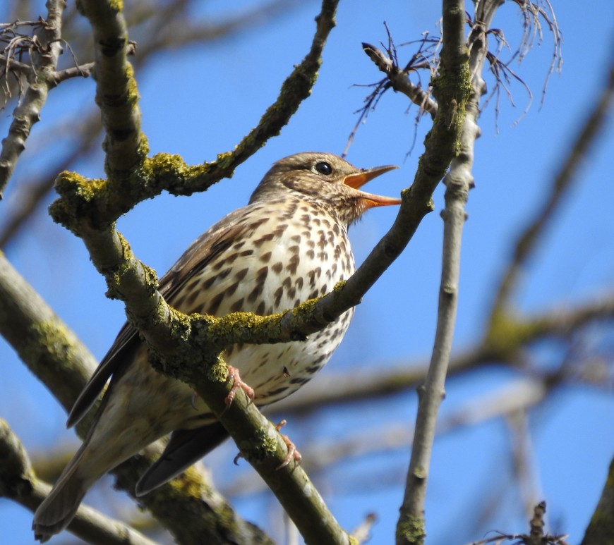 Song Thrush singing in a tree