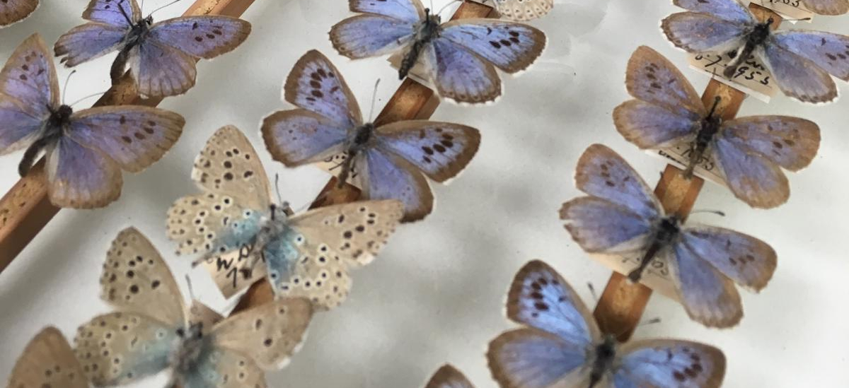 Close up of a drawer of large blue butterflies in the Museum of Zoology