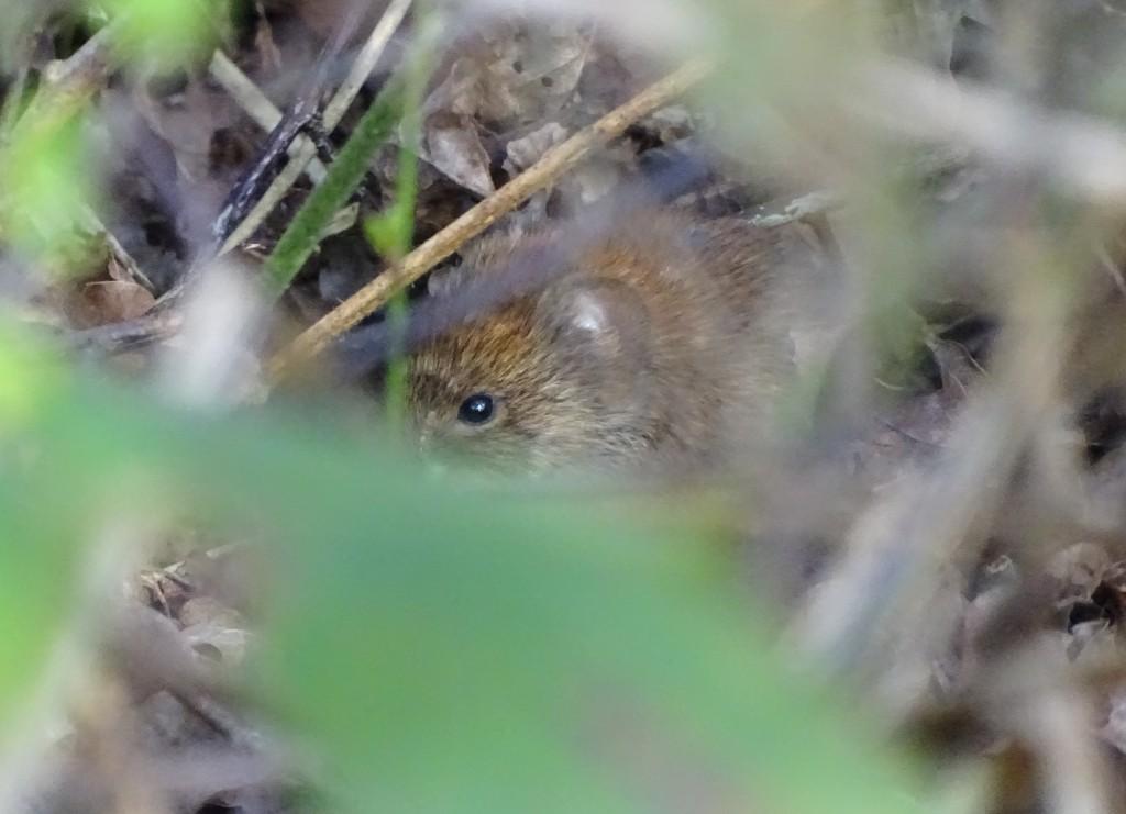 Bank vole hidden in undergrowth