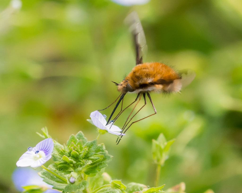 Bee fly feeding from a flower