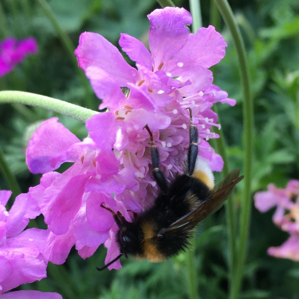Bumblebee feeding on a purple flower