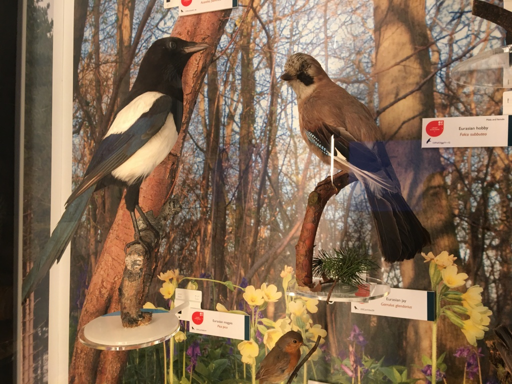 Magpie and Jay taxidermy specimens (c) Museum of Zoology