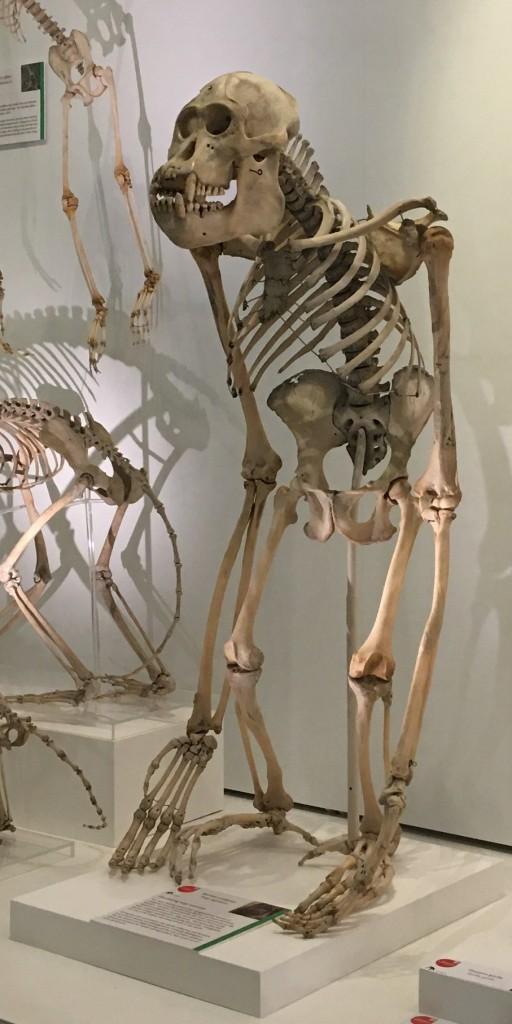 Orangutan skeleton