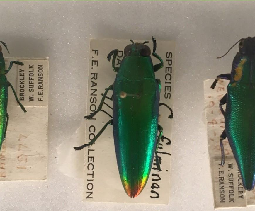 Three jewel beetles