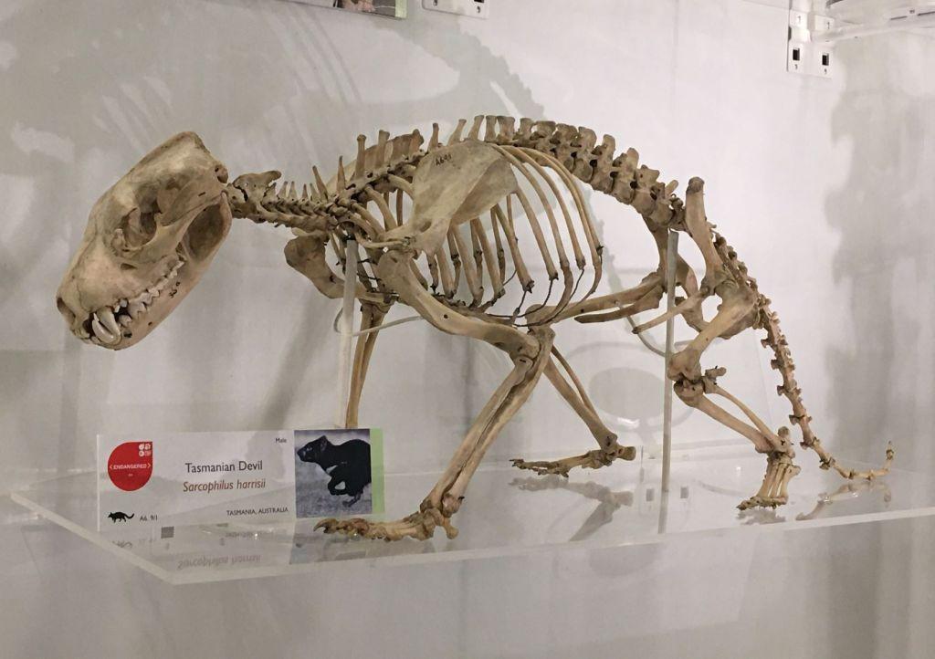 Tasmanian devil skeleton
