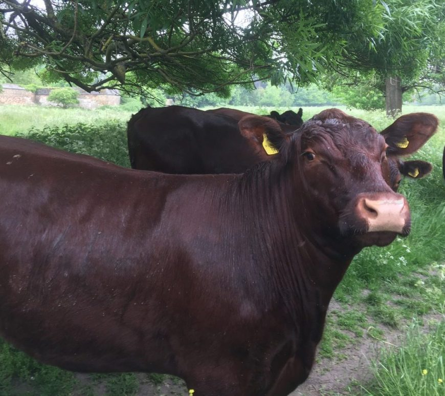Dark brown cow looking to camera