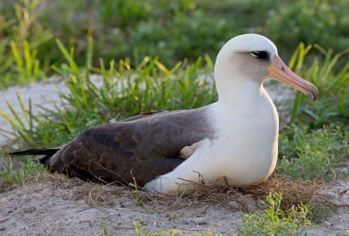 Oldest-known breeding albatross