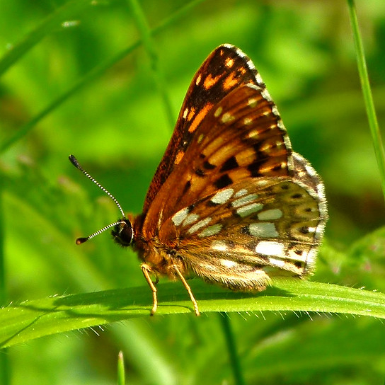 Duke of Burgundy Butterfly at rest on a blade of grass
