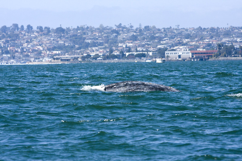 Grey whale in the Port of San Diego, California.