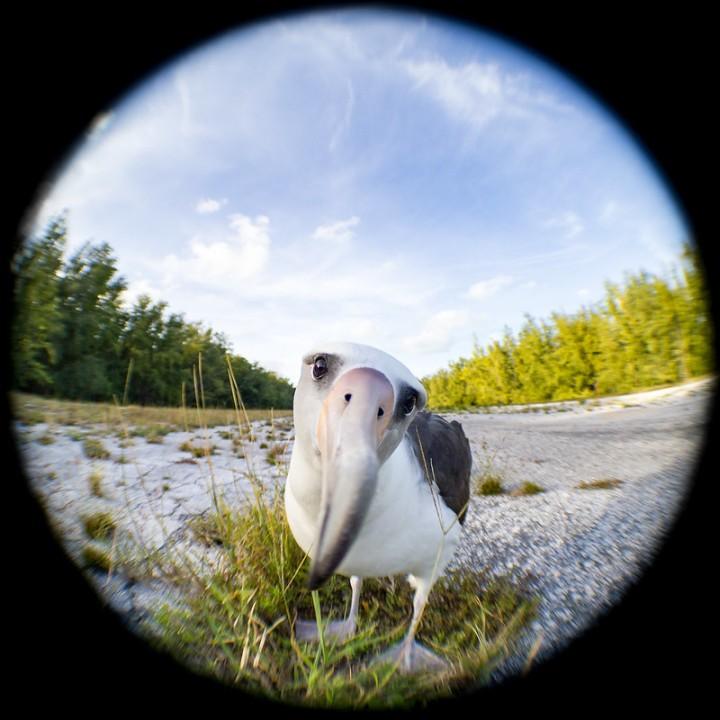 An albatross inspecting a camera