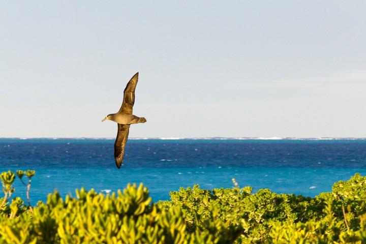 Black-footed albatross in flight