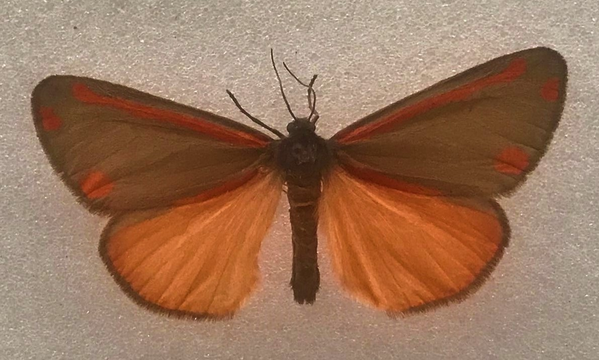 Specimen of a Cinnabar moth with wings open