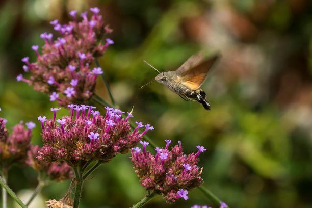 Hummingbird hawk moth feeding