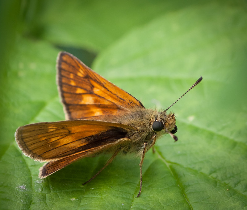 Large skipper butterfly at rest