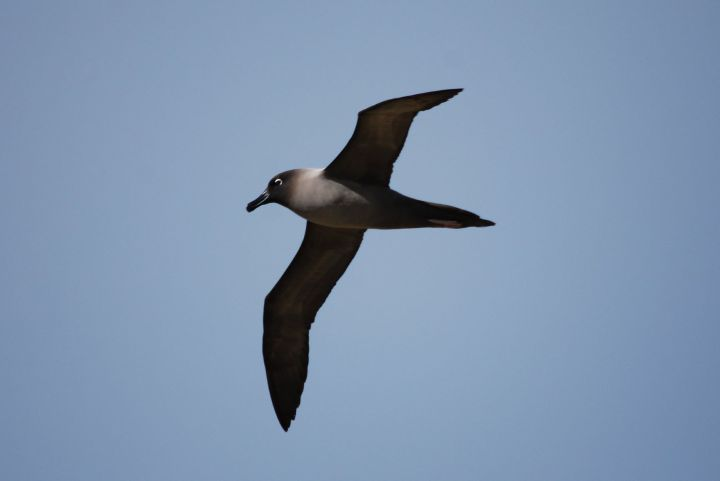 Light-mantled sooty albatross in flight