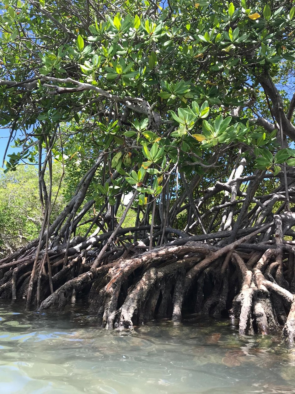 Mangrove forest trees with stilt roots