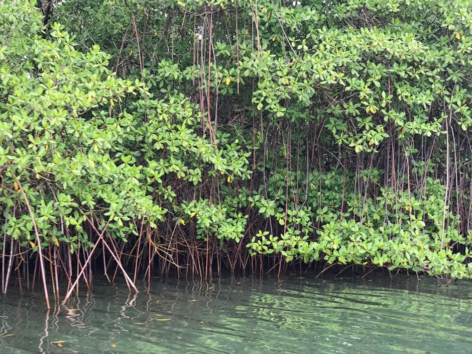 Mangrove forest in Martinique