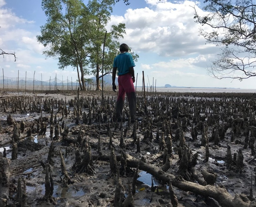 Aerial roots of mangrove trees