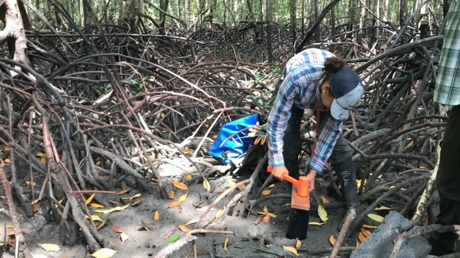 Sampling cores between mangrove trees