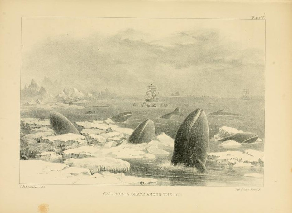 Historical illustration of grey whales eating in icy waters.