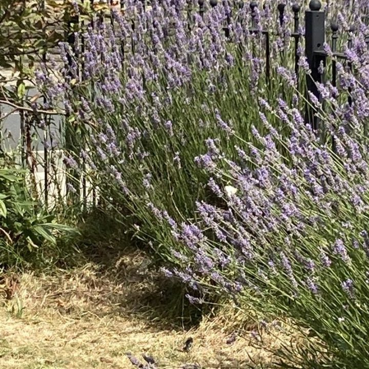 A white butterfly sits on lavender plant