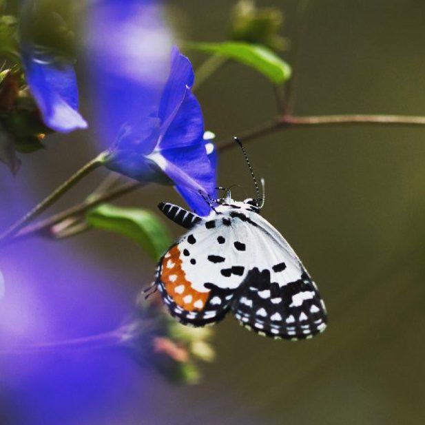 A khasi red pierrot butterfly hangs from the bottom petal of a blue flower