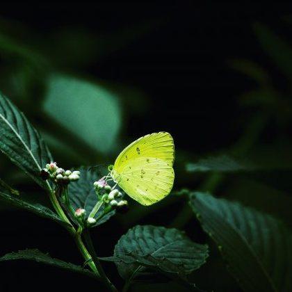 Common grass yellow butterfly, Mumbai
