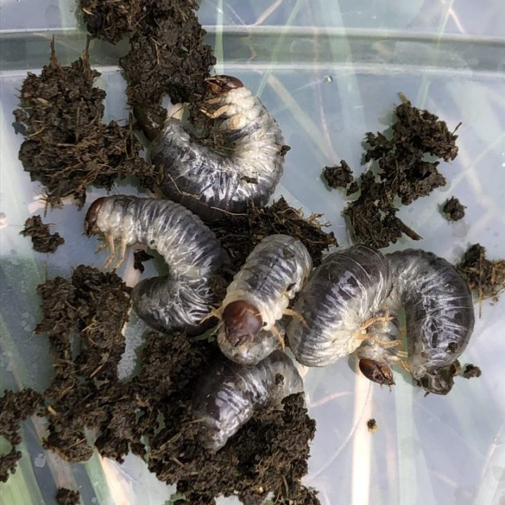 Six dung beetle larvae found in cowpat by Matt