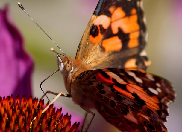 Red admiral nectaring from a Coneflower