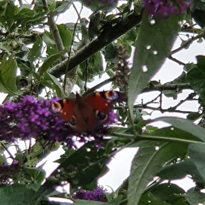 Peacock butterfly nectaring on purple flowers within bush