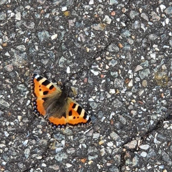 Small tortoiseshell butterfly basking on pavement