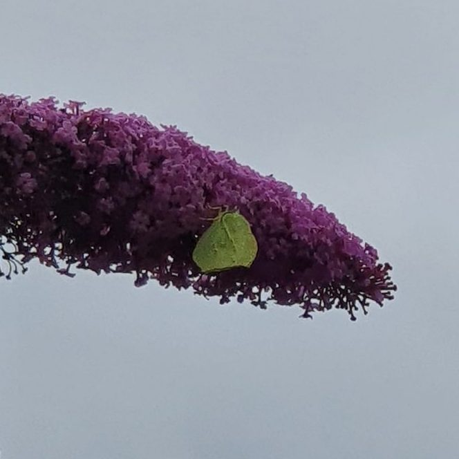 Brimstone butterfly nectaring on purple flowers