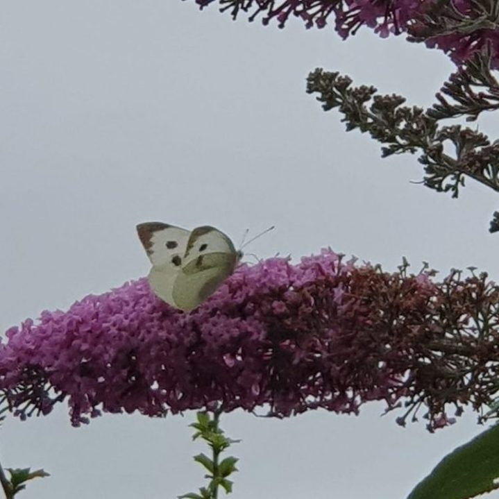 A large white butterfly nectaring on purple flowers