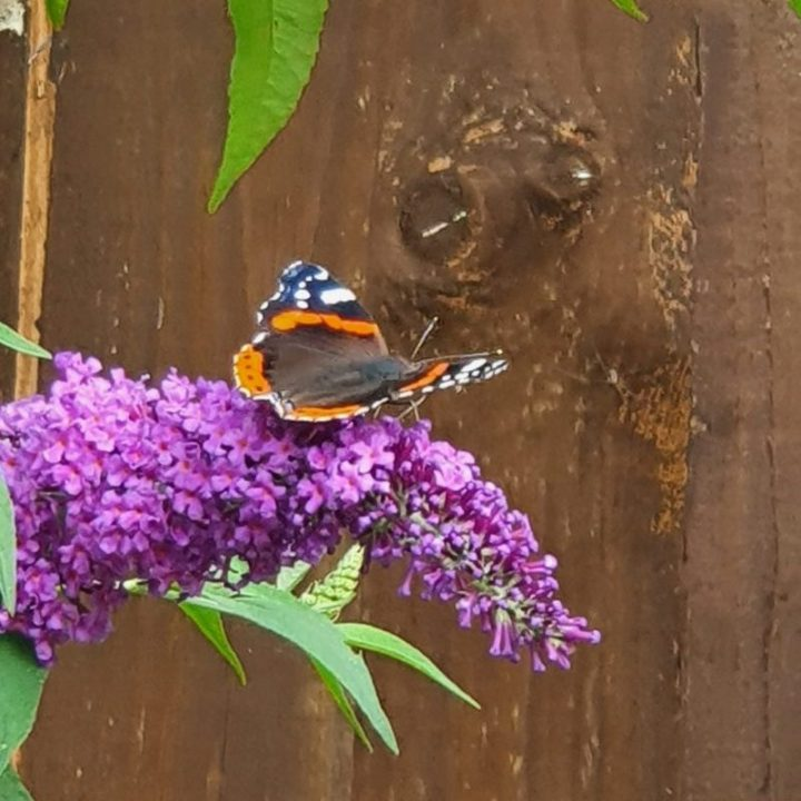 Red admiral butterfly nectaring on purple flowers, wings held open