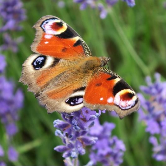 Peacock butterfly basking on lavender, Mauro