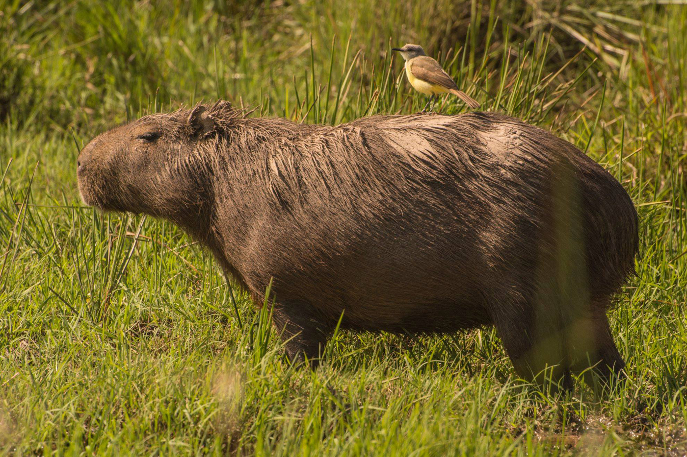 Capybara with bird perched on its back