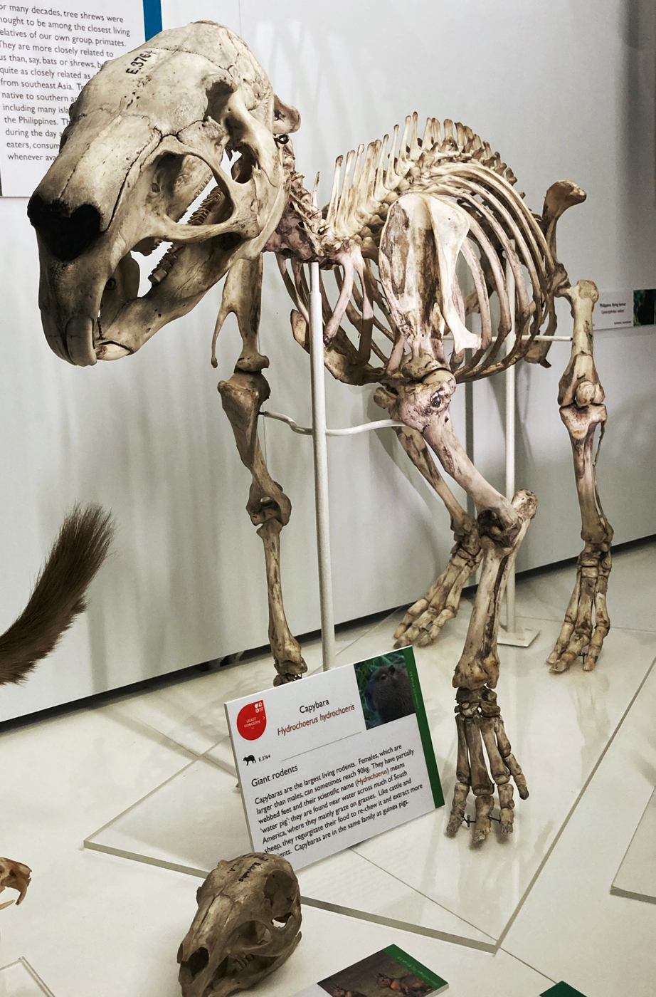 Capybara skeleton