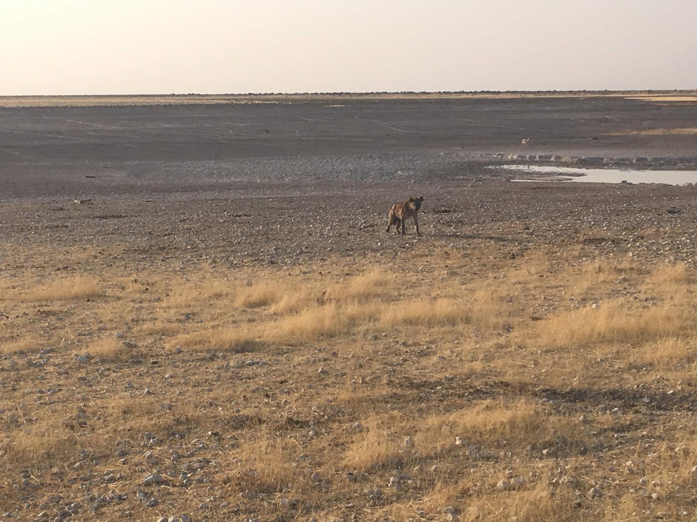 Spotted hyena in Etosha National Park