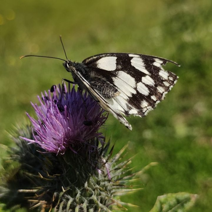 Marbled white nectaring on purple flower, by Heather