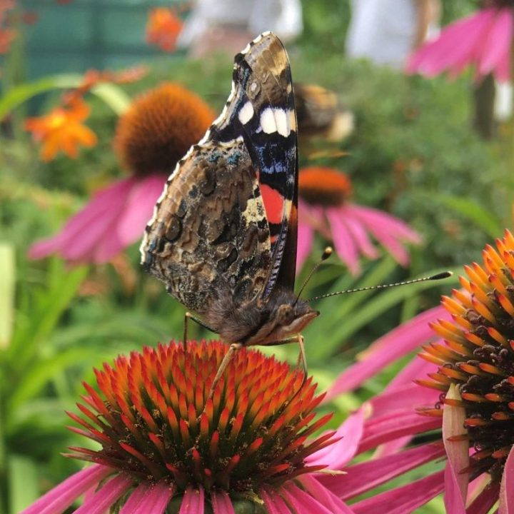 Red admiral nectaring on pink flower by Louise