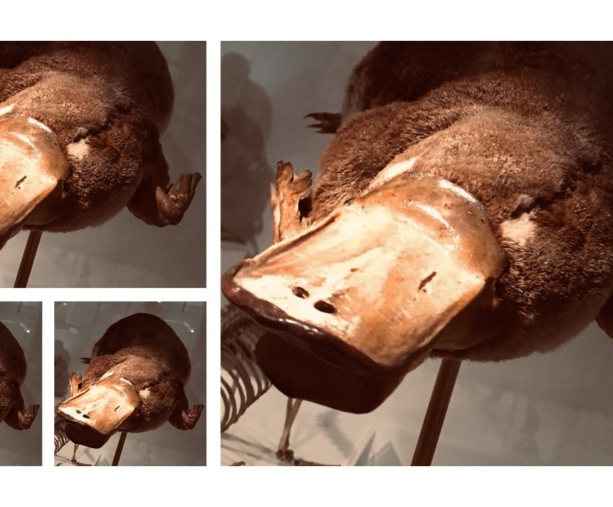 Four platypuses